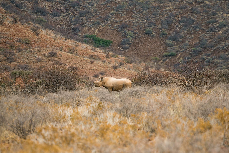 A rare male black rhino in Damaraland