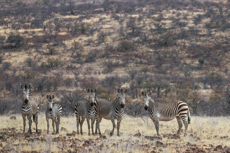 A small herd of Hartmann's mountain zebra in Damaraland