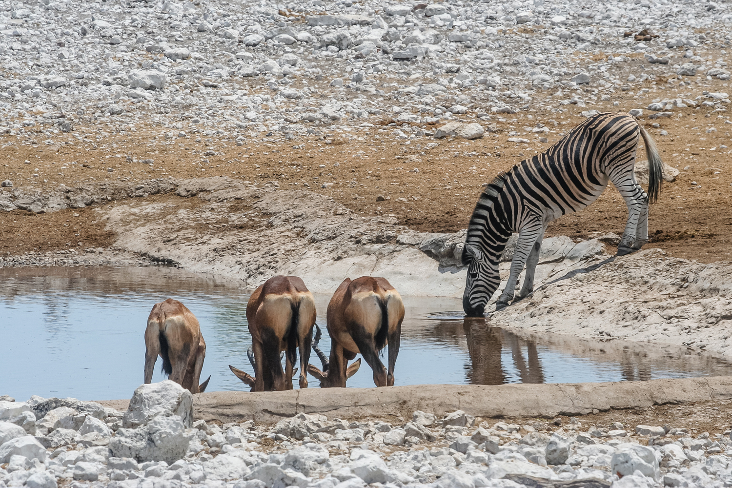 Zebra and red hartebeest share water at one of Etosha National Park's watering holes