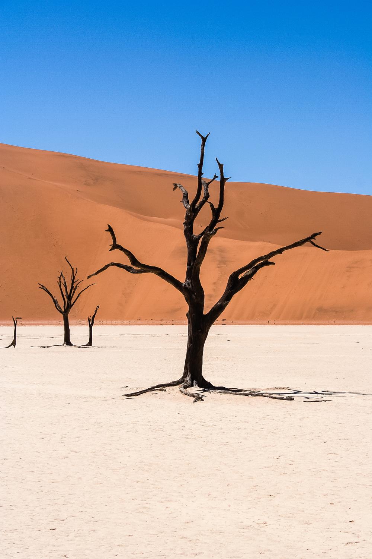 A petrified camel thorn tree in Dead Vlei, Sossusvlei