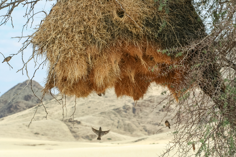 A sociable weaver nest in the Namib-Naukluft National Park