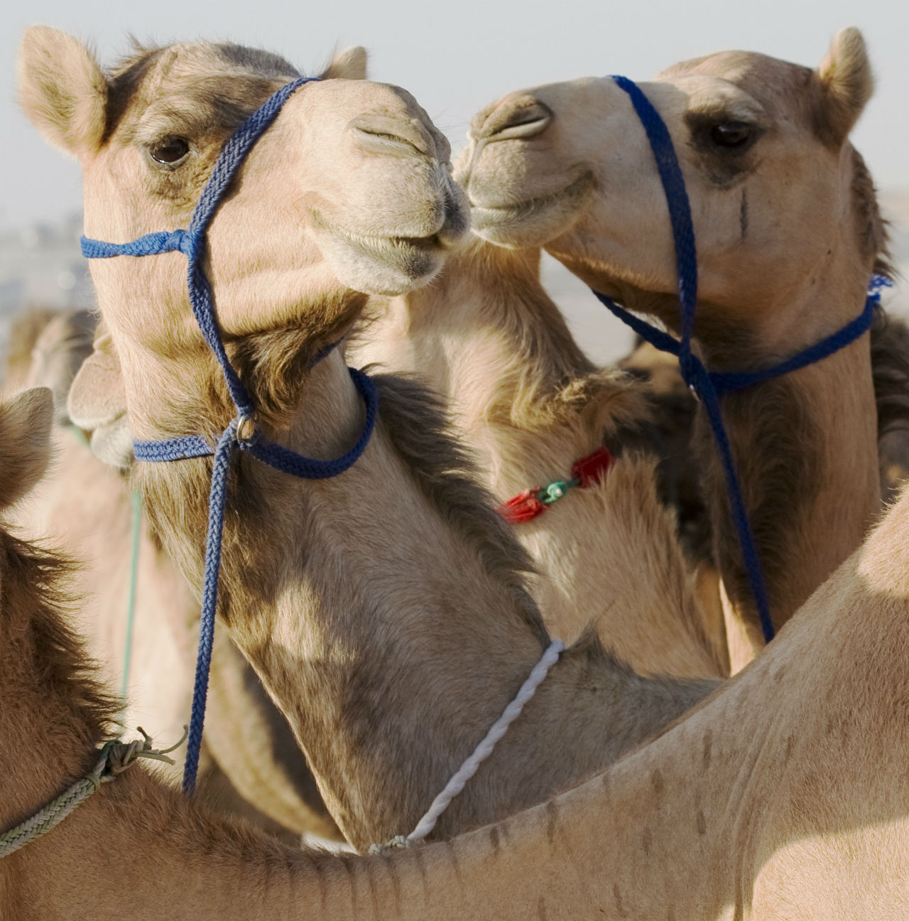 The Al Ain Camel Market is as authentic as it gets