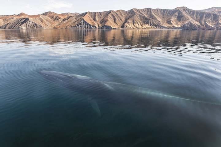 Fin whale off the desert coast of Baja, Caifornia