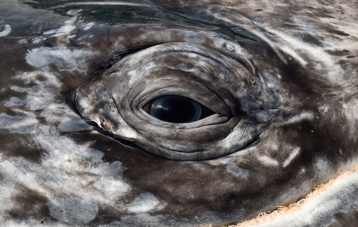 The eye of  a gray whale. Pacific coast Mexico.