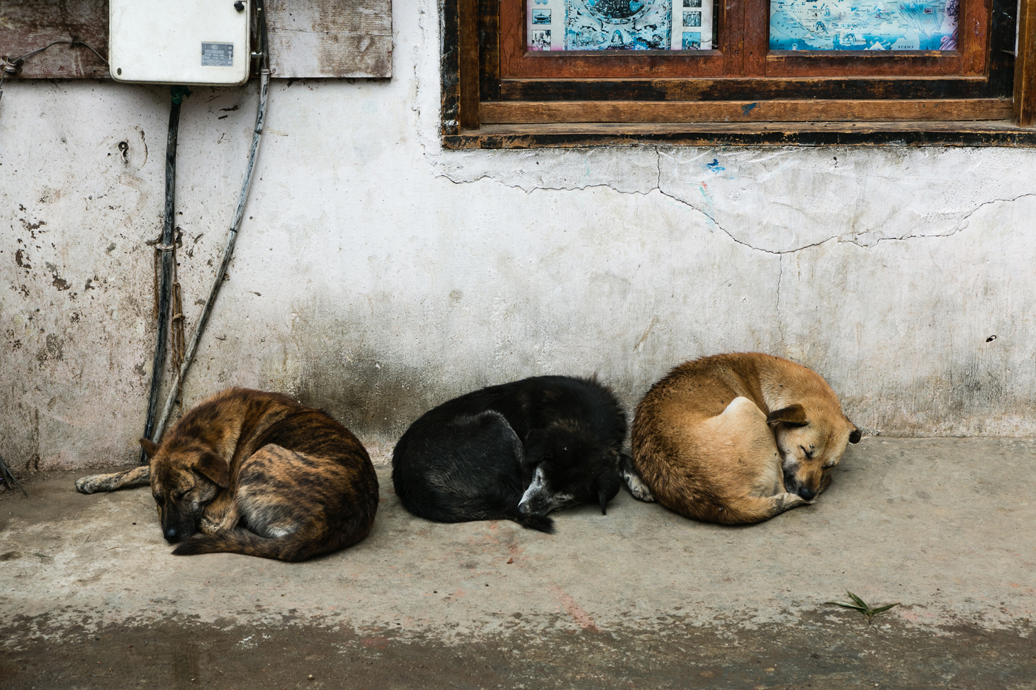 Stray dogs in Thimphu