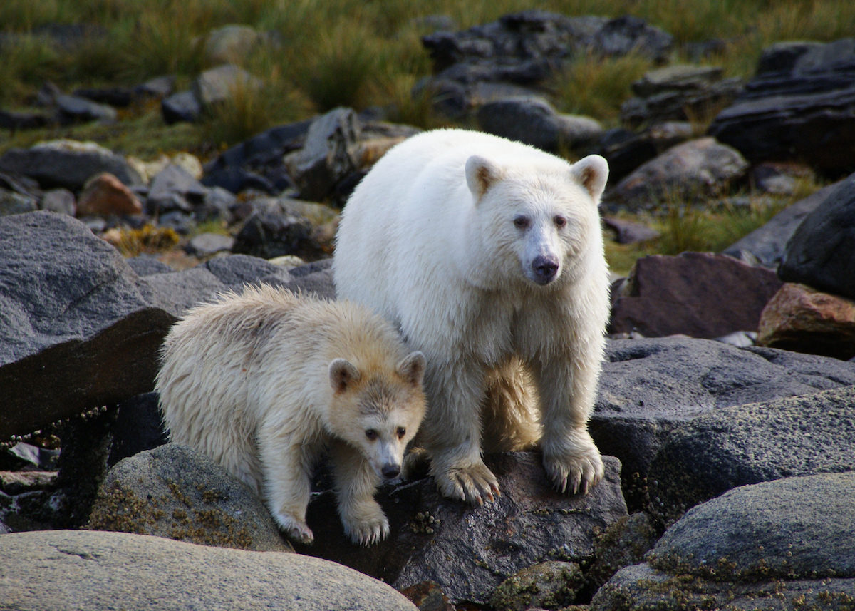 The wildlife in Canada's Great Bear Rainforest will blow your mind