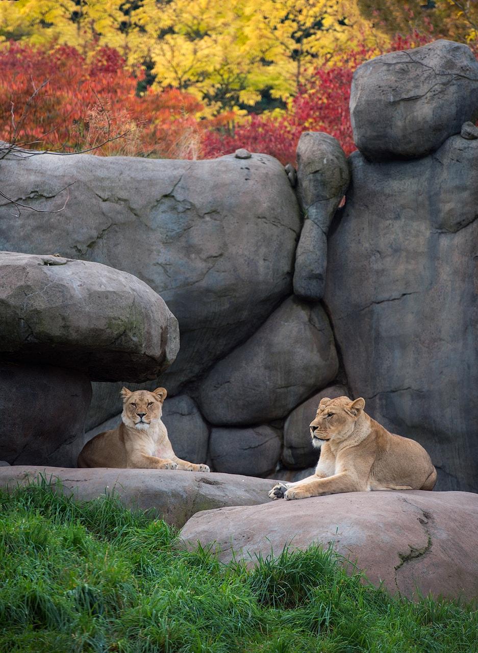 lions-min
