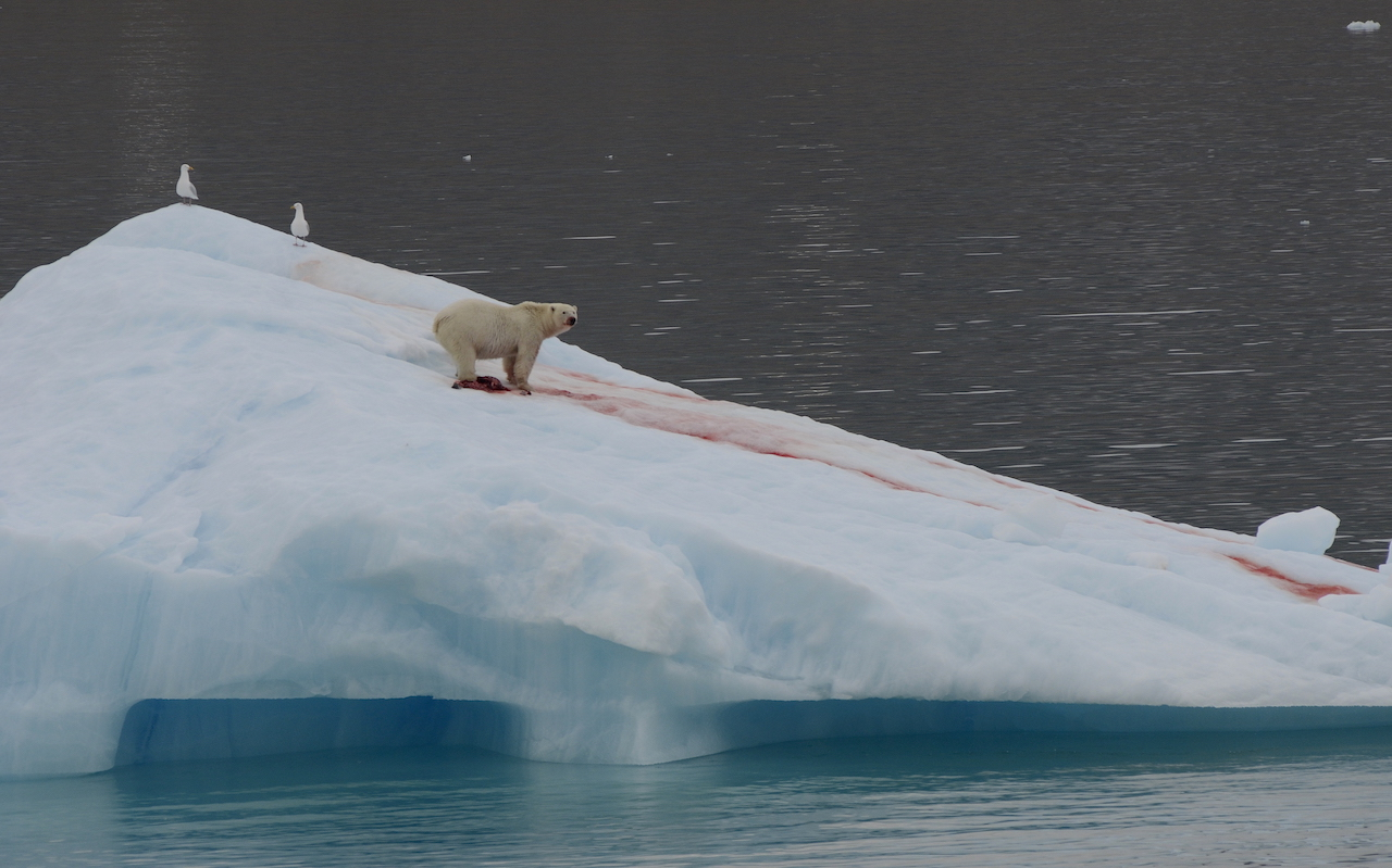 Polar bear eating ringed seal