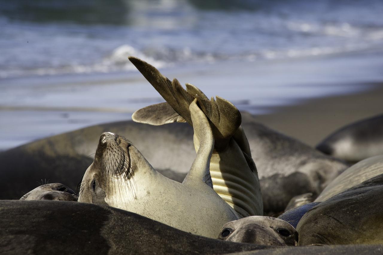 San Luis Obispo elephant seal