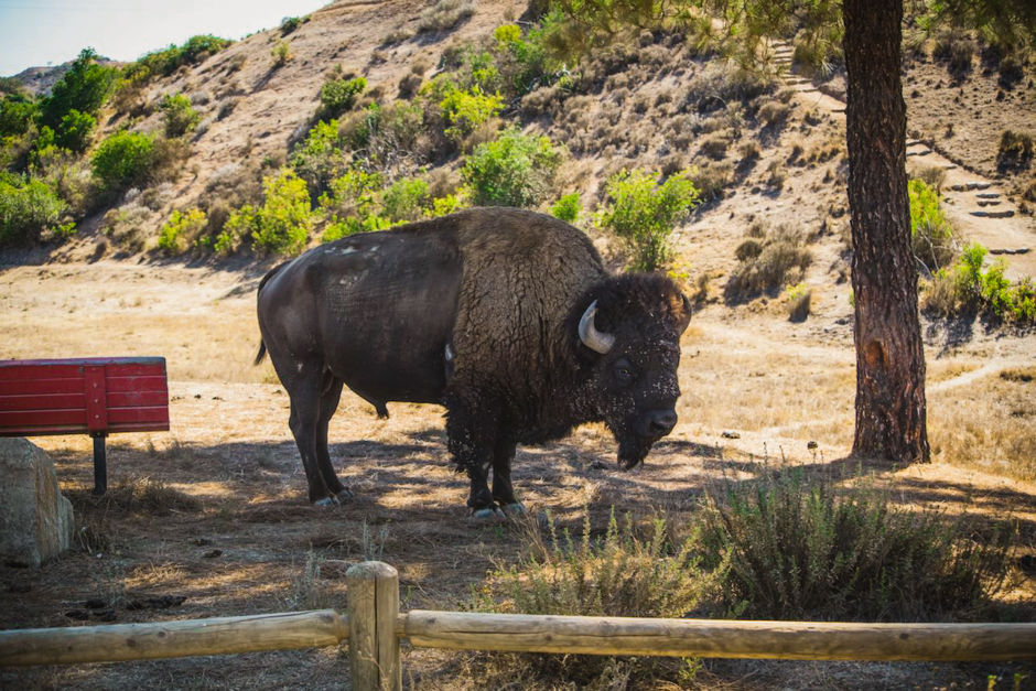 Buffalo Catalina Island
