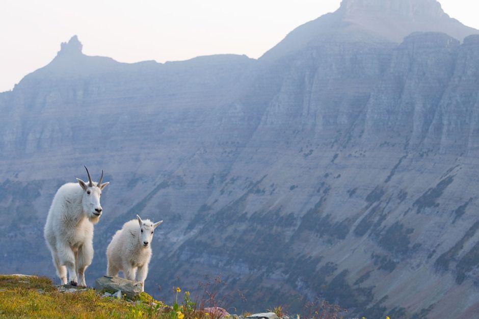 Goats The Bob Montana