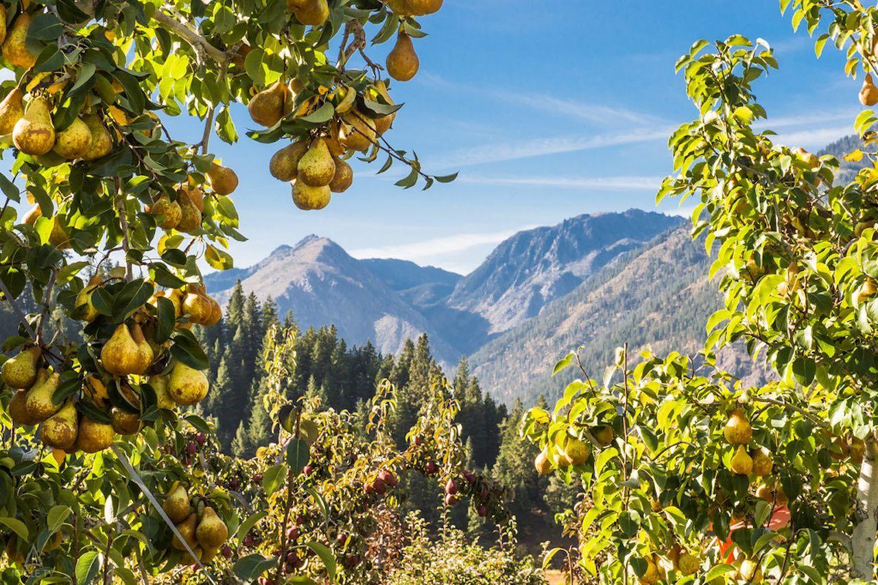 Leavenworth pear orchard