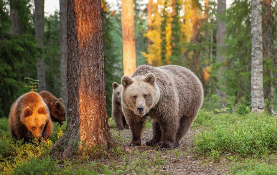 Finland bears