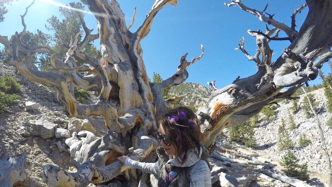 Great Basin Nevada trees