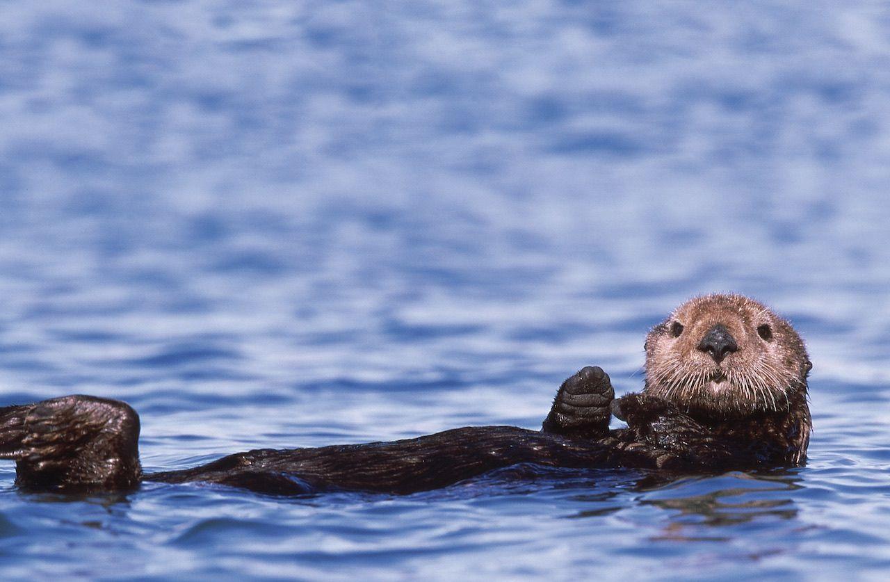 Moss Landing Monterey otter