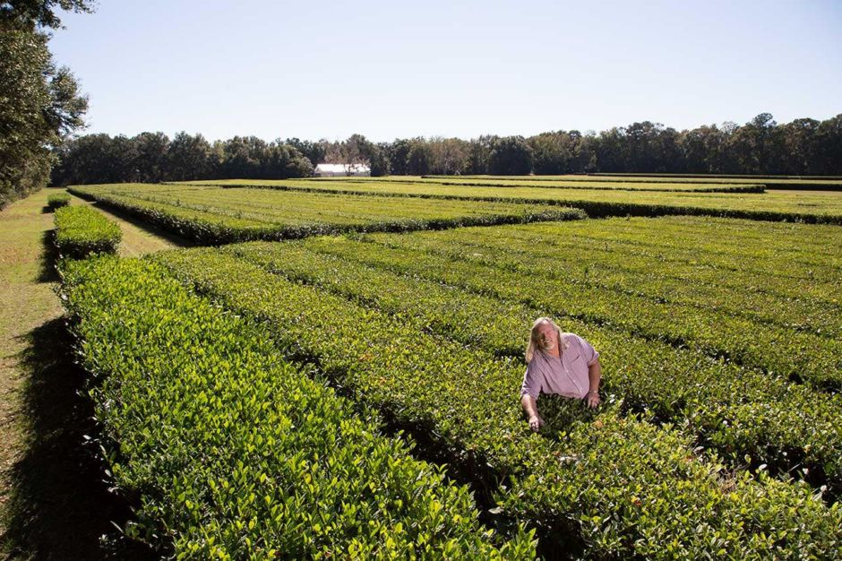 Charleston Tea Plantation South Carolina