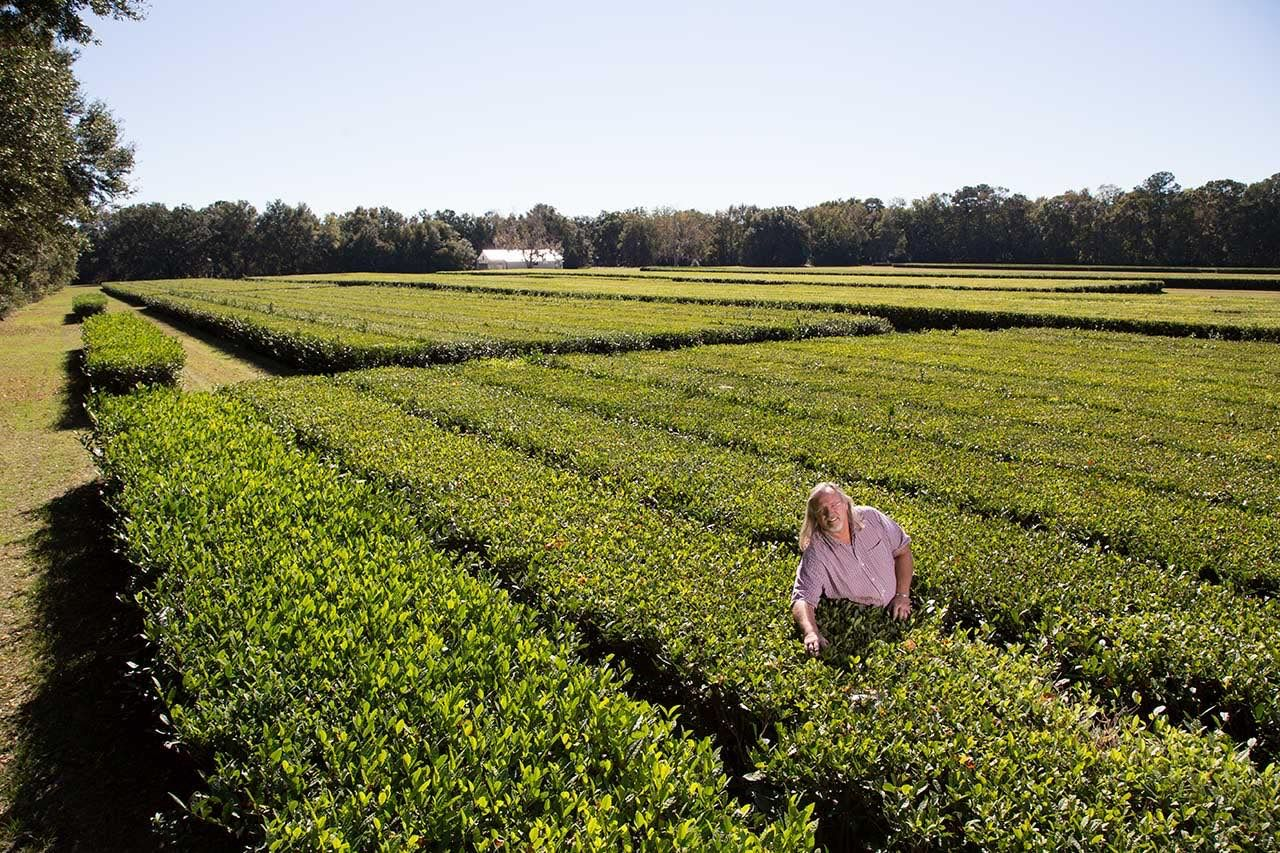 Charleston Tea Plantation South Carolina