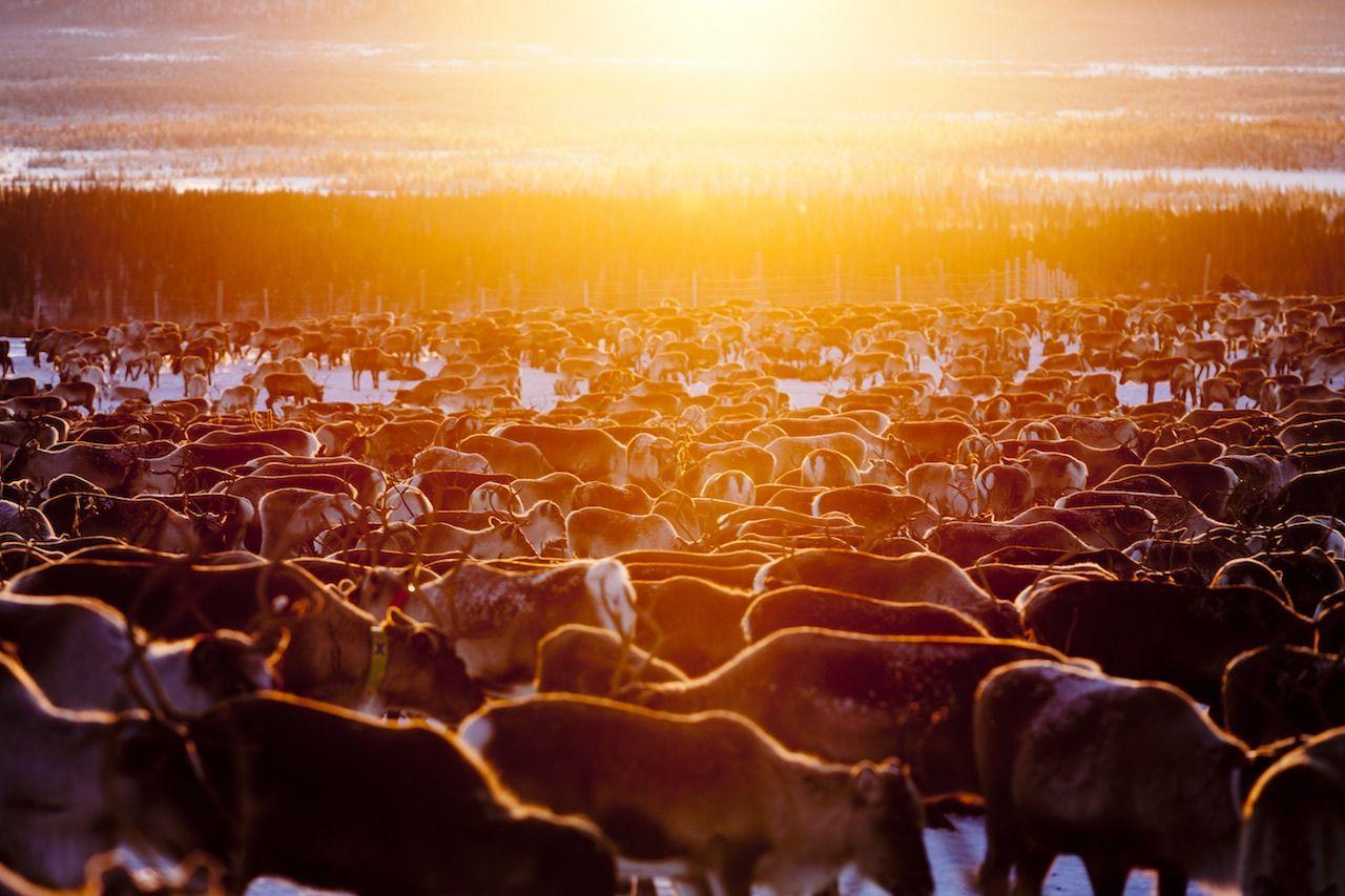 Reindeers Arctic Europe