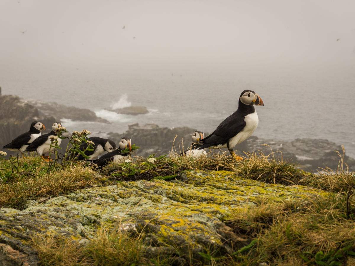 Elliston puffins: How to see these awesome birds in Newfoundland