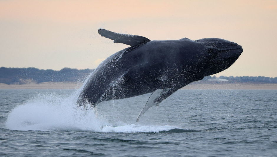 Whale breaching, on the water in Virginia Beach