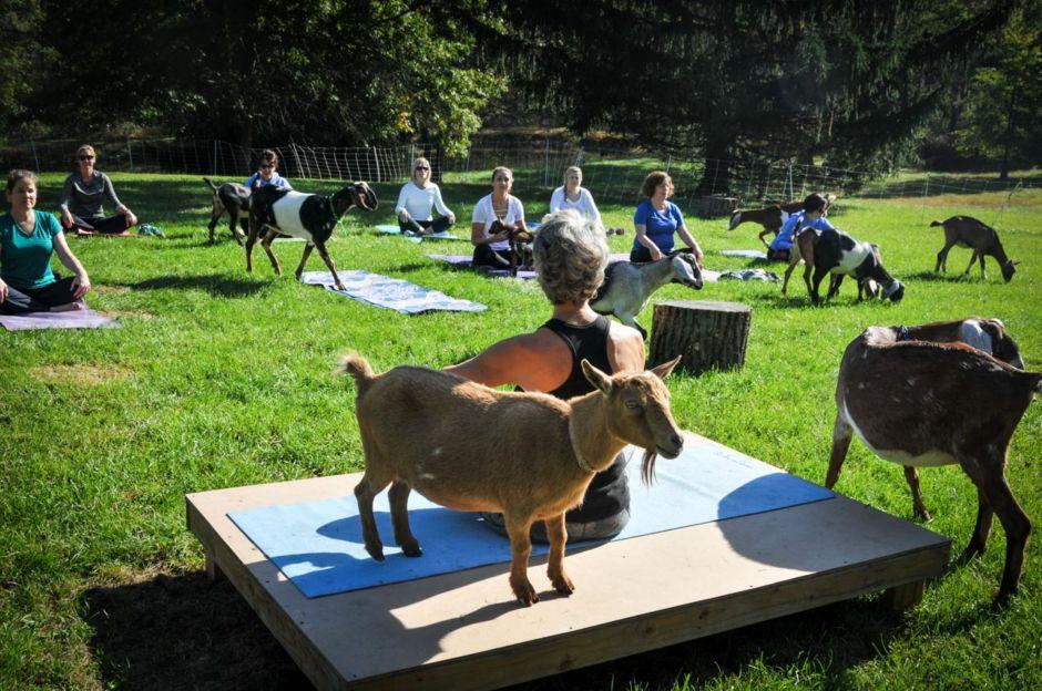 Goat Yoga Gettysburg