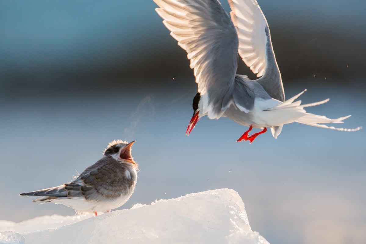 Svalbard Arctic Tern