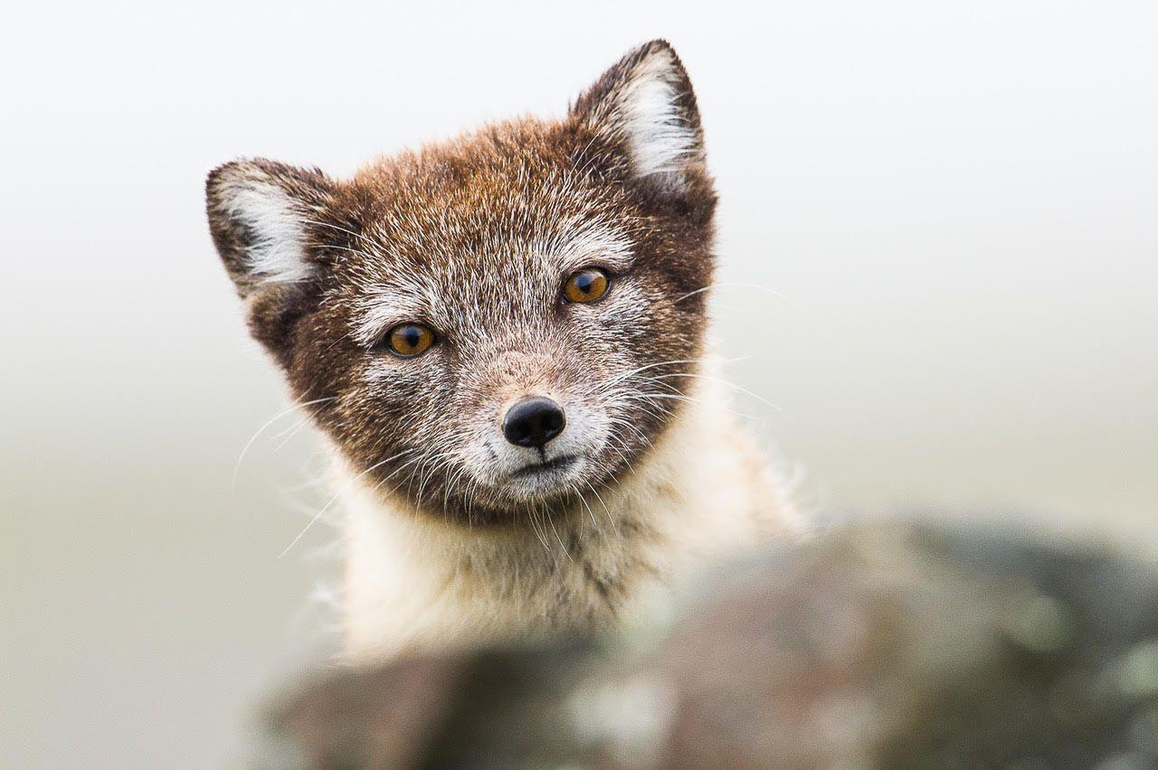 Svalbard Arctic fox