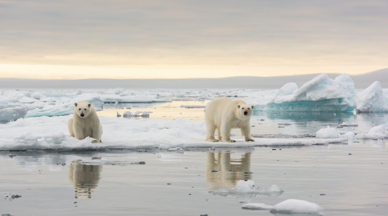Svalbard polar bears