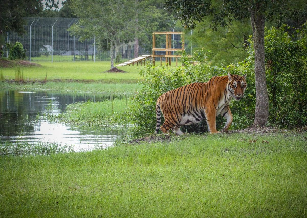 Big Cat Rescue: Florida's wildlife sanctuary for big cats