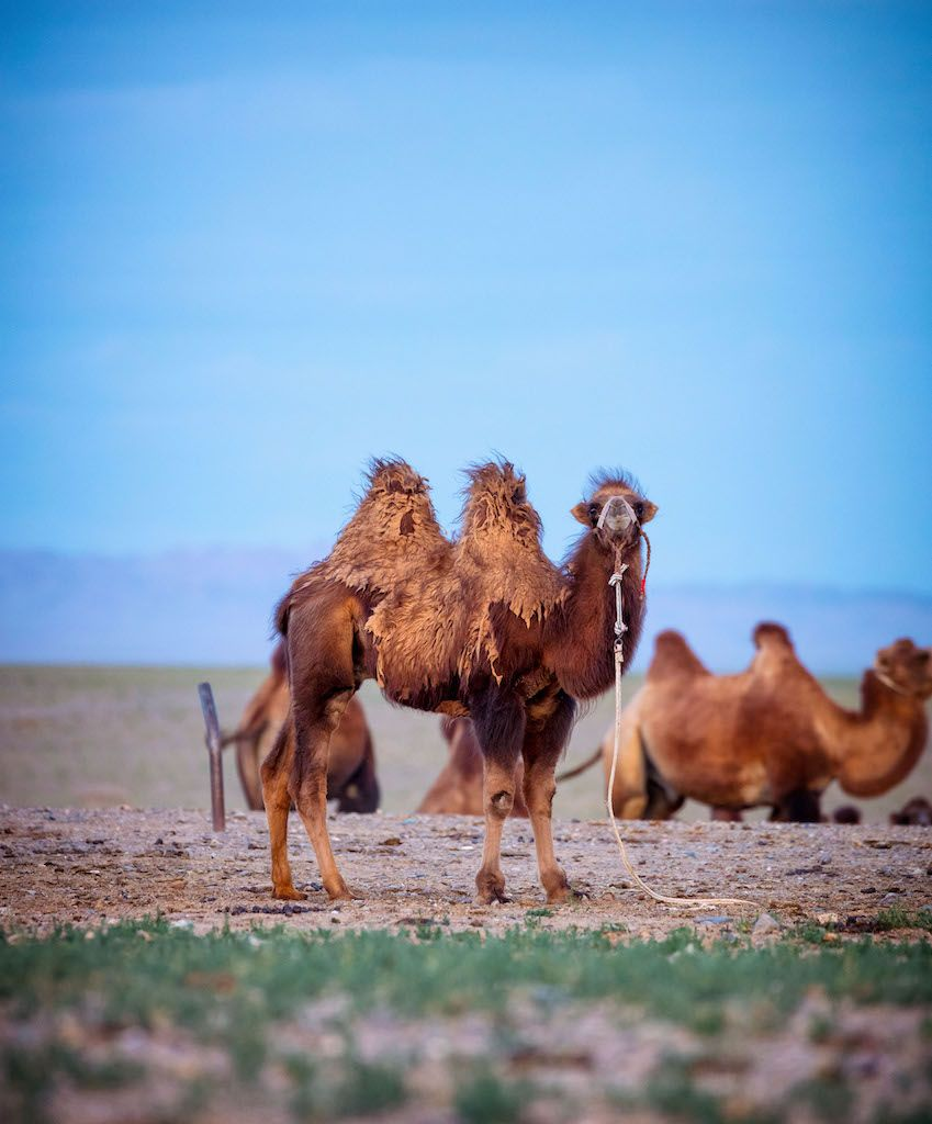 Mongolia camels 2