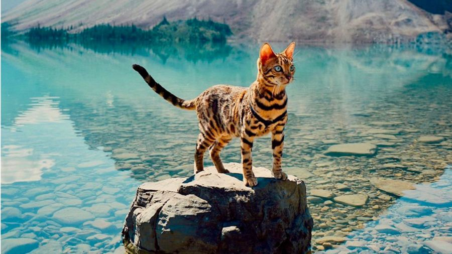 Meet Suki, the Bengal cat who puts Instagrammers to shame