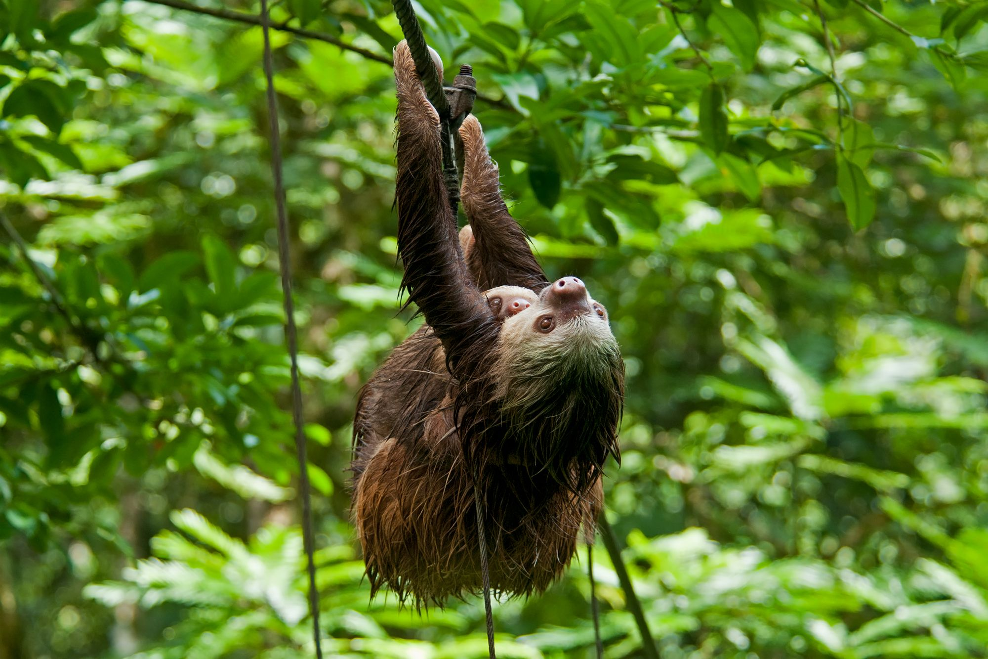 Costa Rica's laziest animal