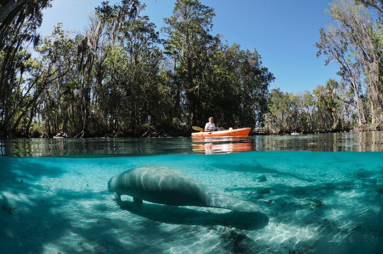 Kayaking with manatees Crystal River Florida