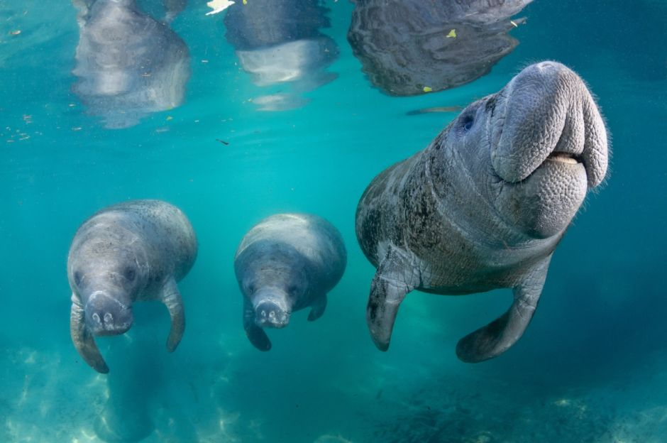 Manatees Crystal River Florida