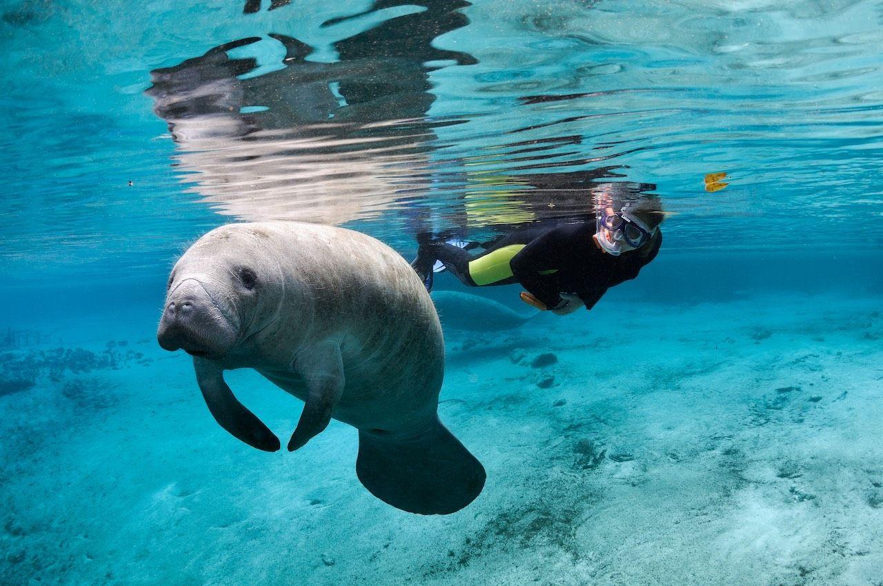 Swimming with manatees Crystal River Florida
