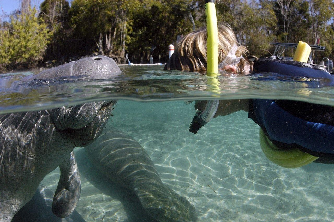 Crystal River Florida manatee snorkeling