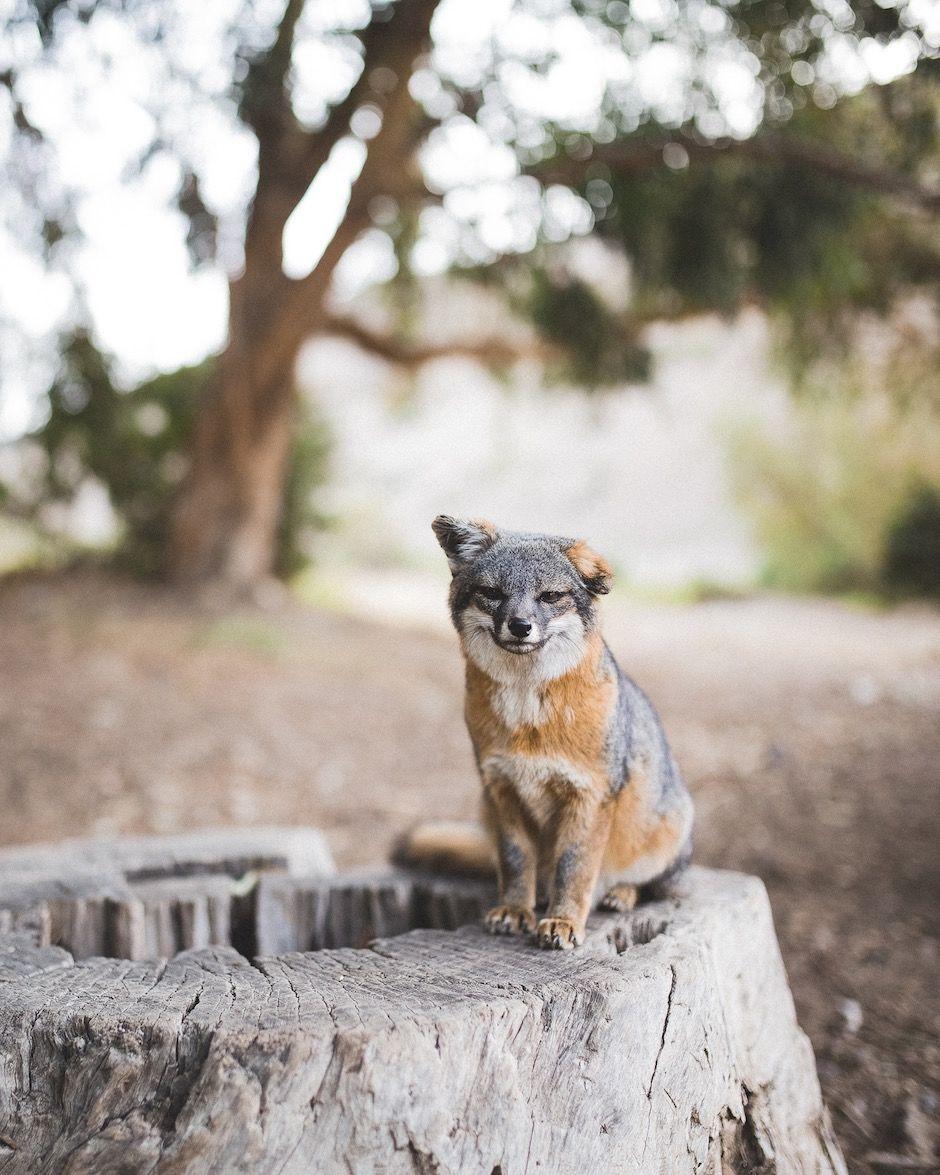 Island fox Ventura California