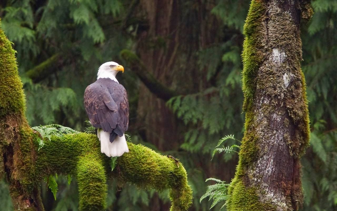 Bald eagle sitting
