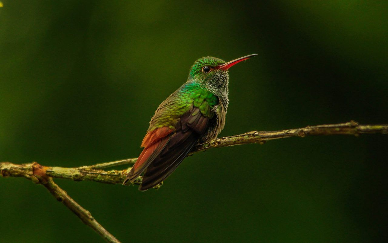 Rufous-tail Hummingbird in Belize