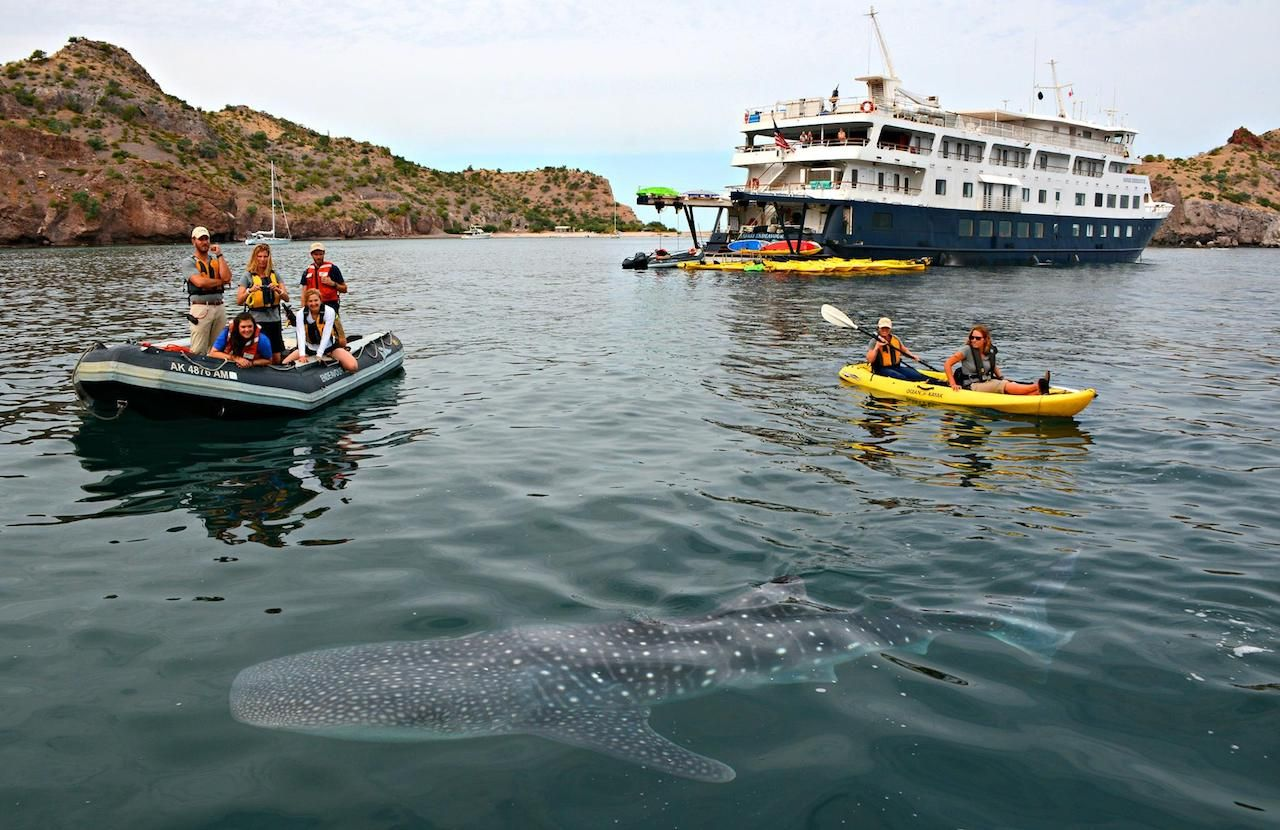 UnCruise Adventures whale shark