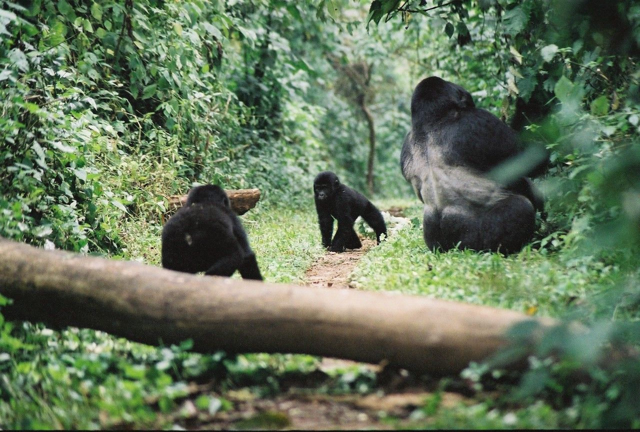 Baby gorillas with adult