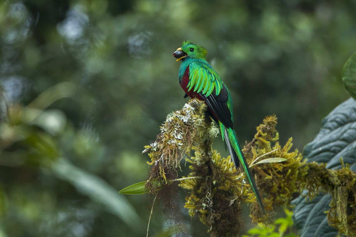 Resplendent Quetzal male carrying food - Cloud Forest in Costa Rica