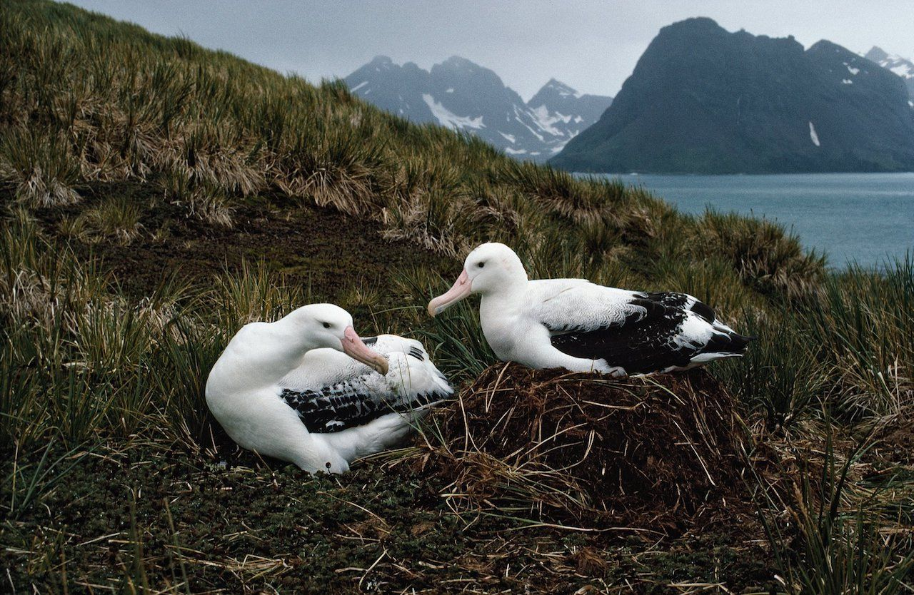 Wandering Albatrosses on Prion Island