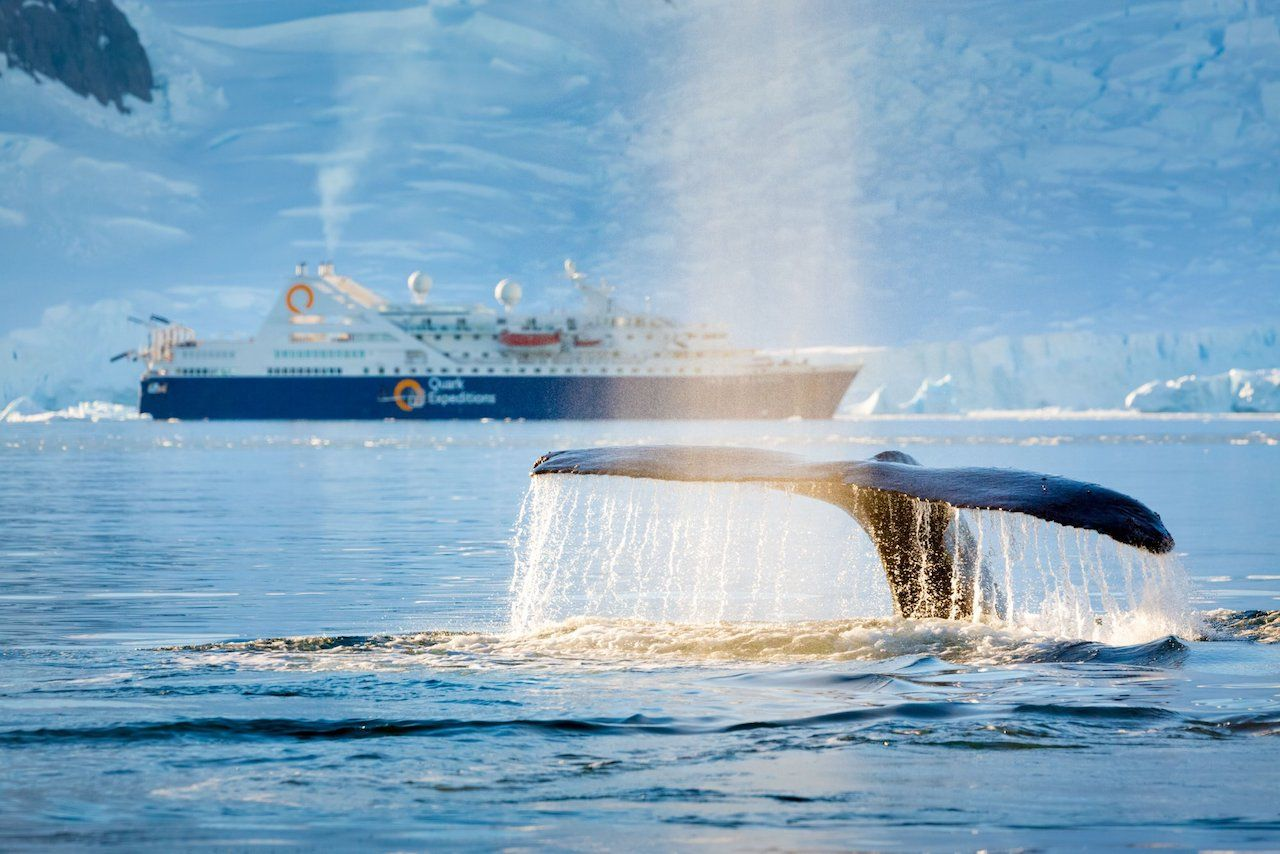 Quark Expeditions whale