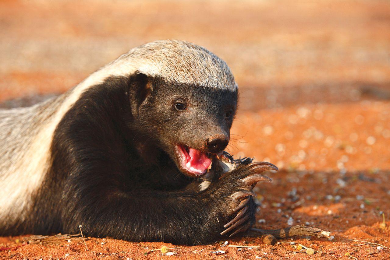 Honey Badger eating