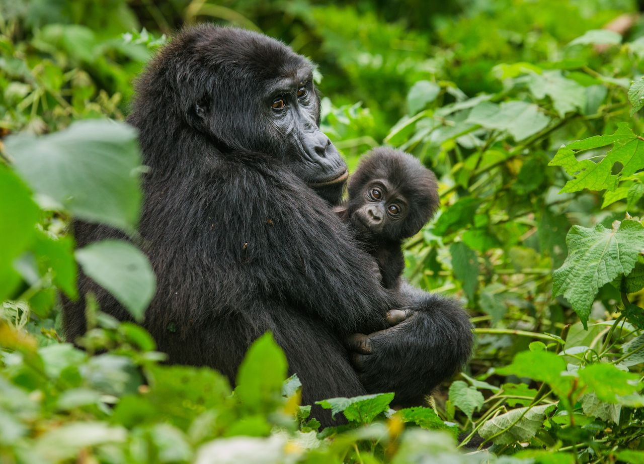 Mountain gorilla with baby