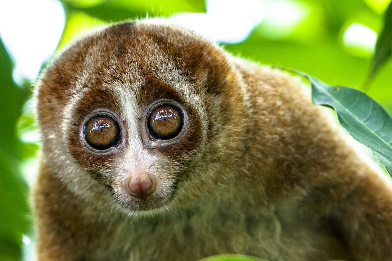 The beautiful Slow Loris on tree with green leaf as background.