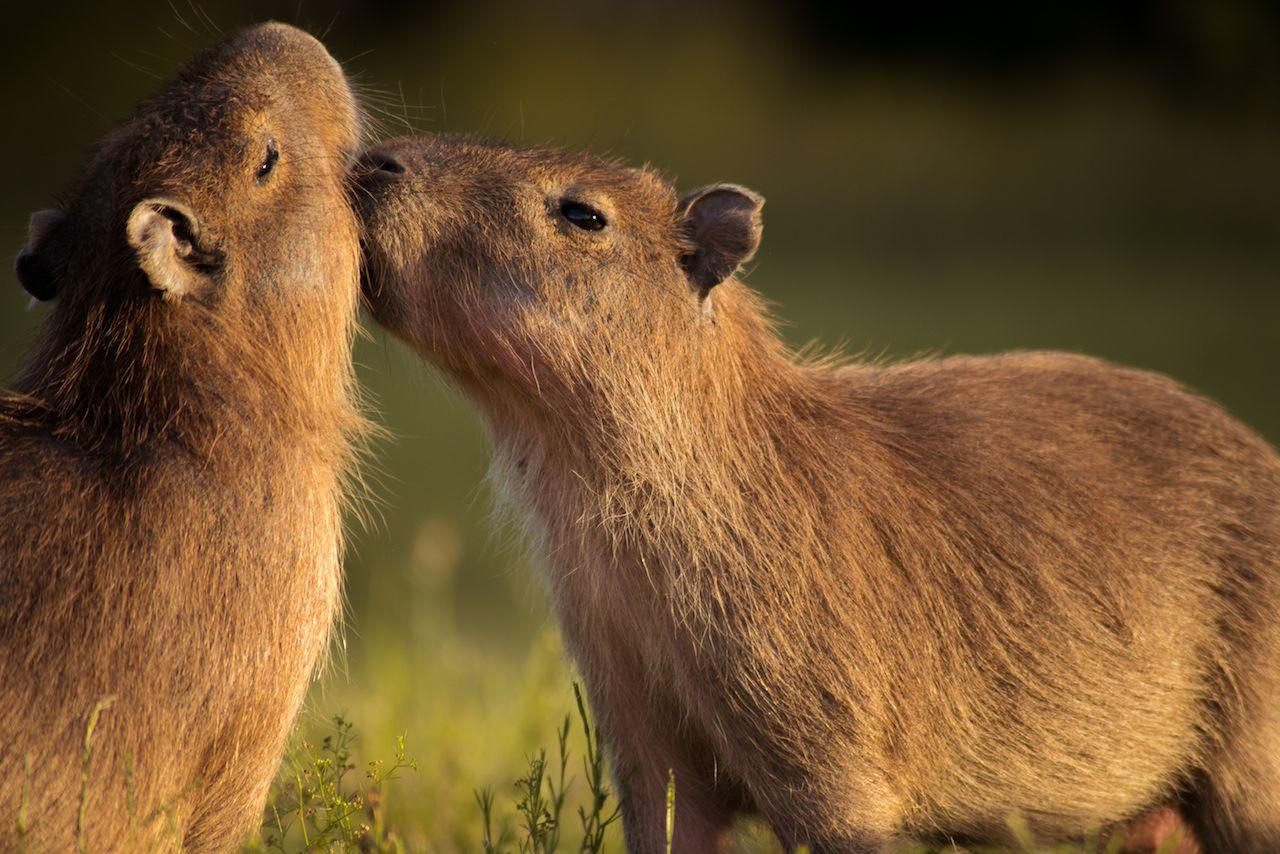 young capybaras playing