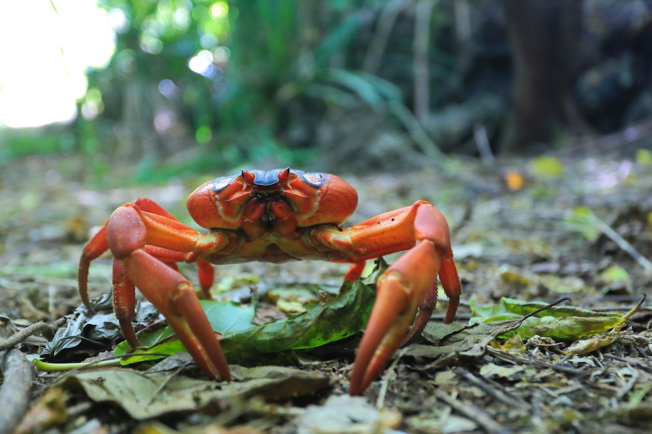 Crab on Christmas Island
