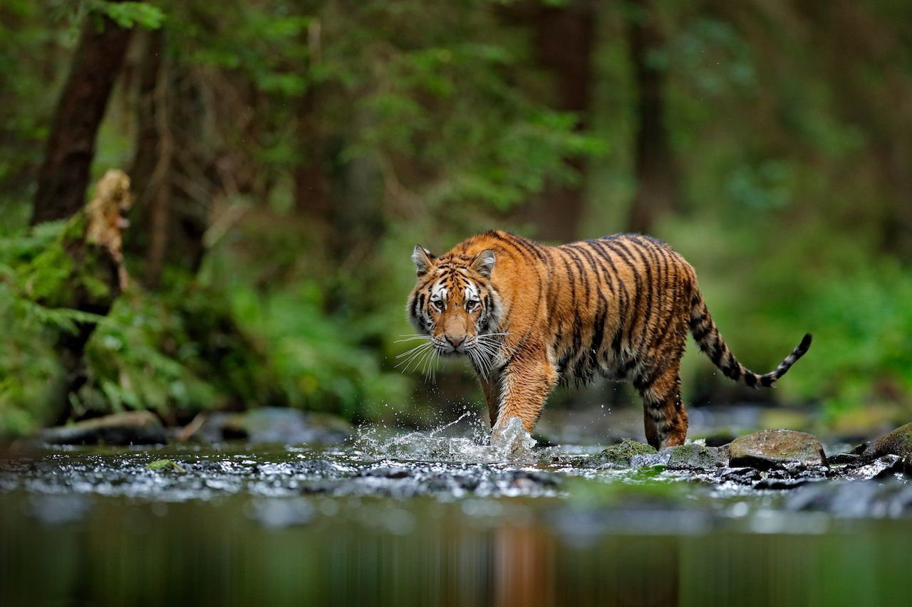 The world's 7 big cats and where to see them in the wild